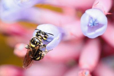 Bienen sammeln wahres Gold.