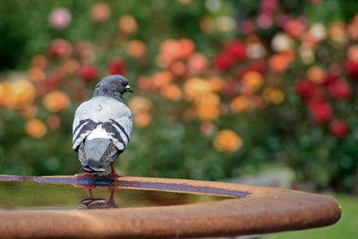 Zu einer Taubenplage kann es schnell kommen.