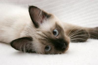 Katzenzüchter sein meint mehr als Katzenliebe.