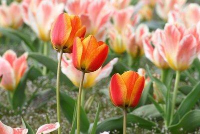 Auch Tulpen sind Blumen, die Sie essen können.