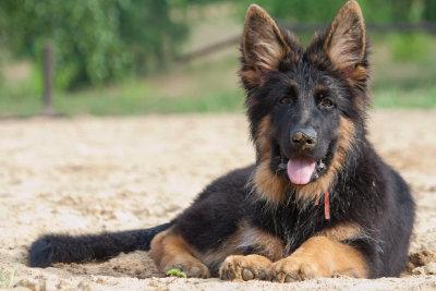 Der Langhaar-Schäferhund hat dichtes Fell.