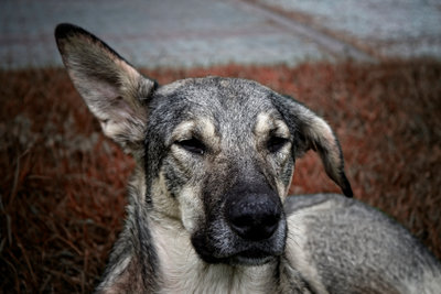 Auch Hunde können Läuse ins Haus bringen.