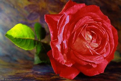 Rosen zurückschneiden hilft der Blüte.