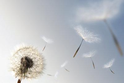 Bläst der Wind, schweben die Flugschirme der Pusteblume über das Land.