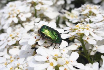 Der grüne Rosenkäfer gehört zu den geschützten Arten.