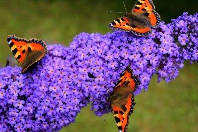 Mit Schmetterlingen wird Ihr Garten noch schöner.