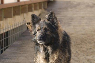 Auch die Altdeutschen Schäferhunde sind sehr beliebt.
