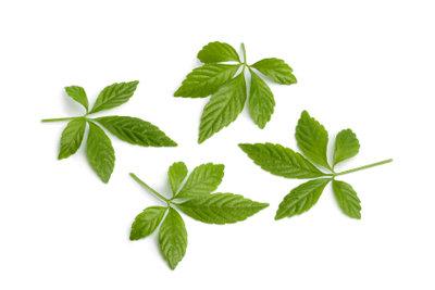 Die gesunden Blätter der Jiaogulanpflanze