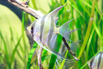 Er ist der Star im Aquarium.