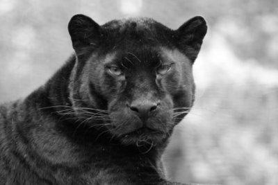 Ein schwarzer Panther ist ein Leopard mit einer durchgängig schwarzen Fellfärbung.