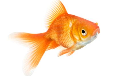 Goldfische verfügen häufig über unterschiedliche Physiognomien.