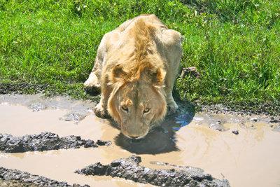 Im Serengeti-Park können Sie wilde Tiere aus direkter Nähe beobachten.