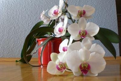 Orchideen, die zarten Schönheiten, brauchen Aufmerksamkeit