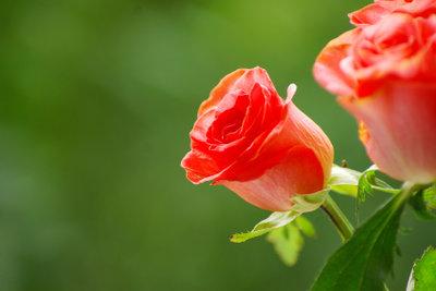 Rosen sollten optimal versorgt werden.