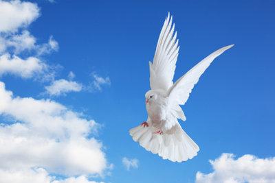 Die Mittelhäuser Taube ist dafür bekannt, sehr temperamentvoll und flugfähig zu sein.