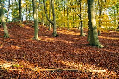 Buchen prägen das Bild deutscher Wälder.