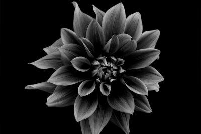 Echte Dahlien sind farbige Blumen.