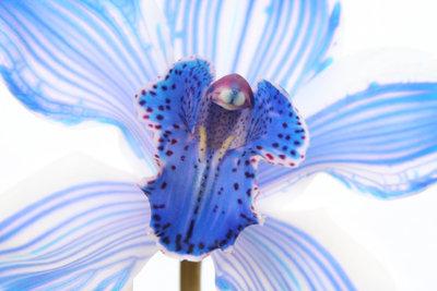 Die Vanda-Anco-Orchidee braucht gute Pflege.