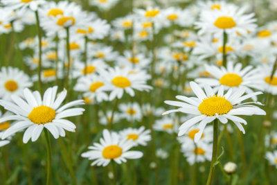 So fröhlich und üppig blühen Margeriten bei guten Bedingungen.