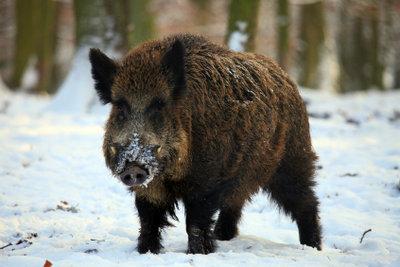 Wildschweine sind friedfertige Tiere.