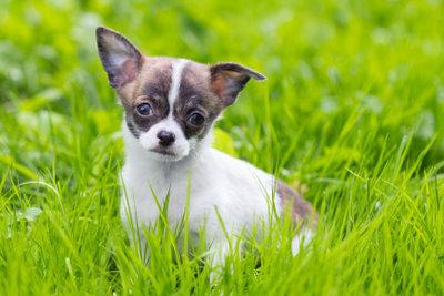 Der Chihuahua ist klein - aber robust.