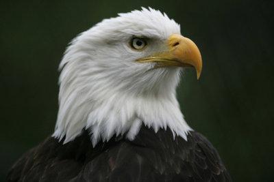 Der Seeadler ist der größte unter den Adlern.