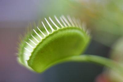 Fleischfressende Pflanzen sind für den Menschen harmlos.