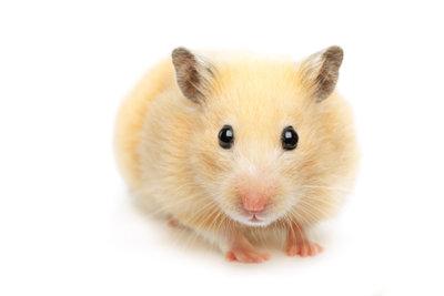 Der Hamster ist ein soziales Tier.