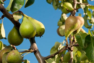 Das richtige Beschneiden der Bäume fördert eine reiche Ernte.