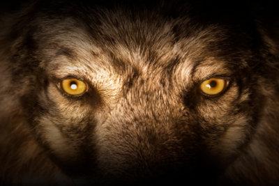 So gefährlich wie dieser Wolf werden Sie auch mit Ihrem Wolf-Kostüm aussehen.