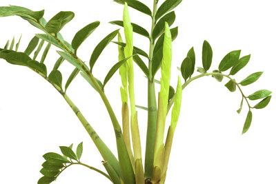 Die  Zamioculcas erfreut durch die Blattfiedern, nicht durch die Blüte.