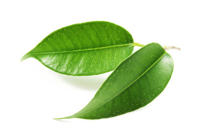 Ein gesunder Ficus hat kräftige, dunkelgrüne Blätter.