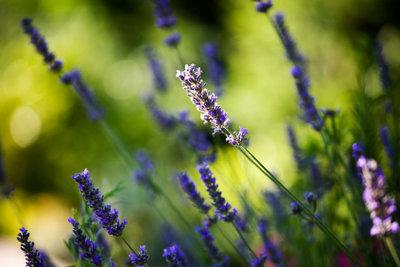 Schöner Lavendel!