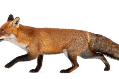 Der Fuchs ist ein typisches Tier in der Fabel.