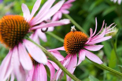 Schöne große Blütenköpfe