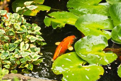 Den Nitratwert im Teich zu senken, kann relativ aufwendig sein.
