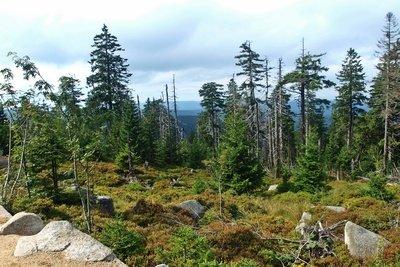 Im Wald stehen viele verschiedene Arten von Nadelbäumen.