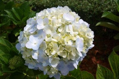 Schneeball-Hortensien sind leicht vermehrt.