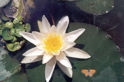 Seerosen überwintern oft direkt im Teich.