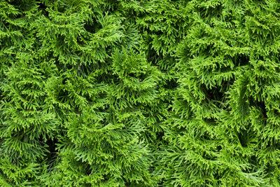 Eine Thuja-Pflanze eignet sich zur Einzelanlage und als Hecke.