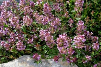 Thymian wächst in vielen Kräutergärten.