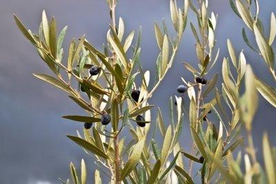 Ein Olivenbaum ist anspruchslos.