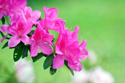 Ein Rhododendron sieht alleine aber auch als Hecke sehr schön aus.