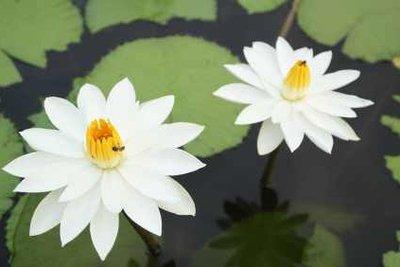 Ist das Wasser im ökologischen Gleichgewicht, dann blühen auch die Seerosen üppig.