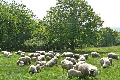 Auch Schafe benötigen Fußpflege.