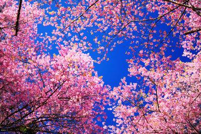 Der japanische Kirschbaum trägt eine große Symbolik in sich.