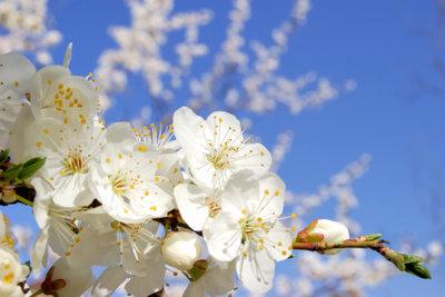 Blüten der Pflaume zur Dekoration verwenden