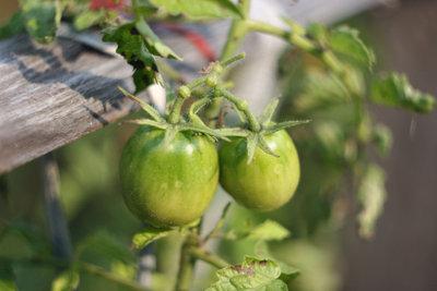 Diese Tomaten sind noch nicht reif.