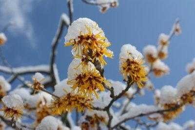 Hamamelis ist ein begehrter Winterblüher.