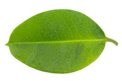 Gummibäume haben Gift in den Blättern.